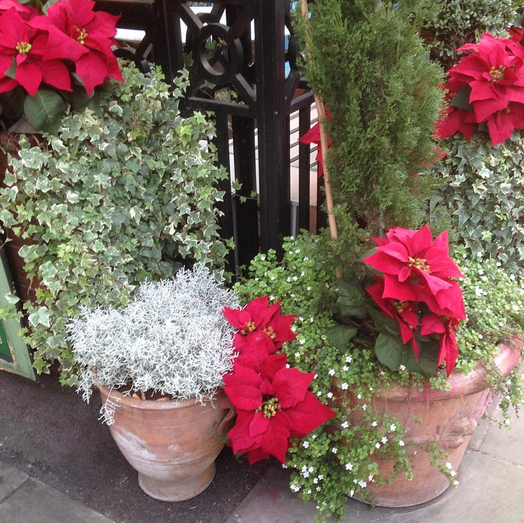 Pretty poinsettia in Covent Garden christmasmood poinsettia redandgreen mychristmascountdown merryandbrighthellip